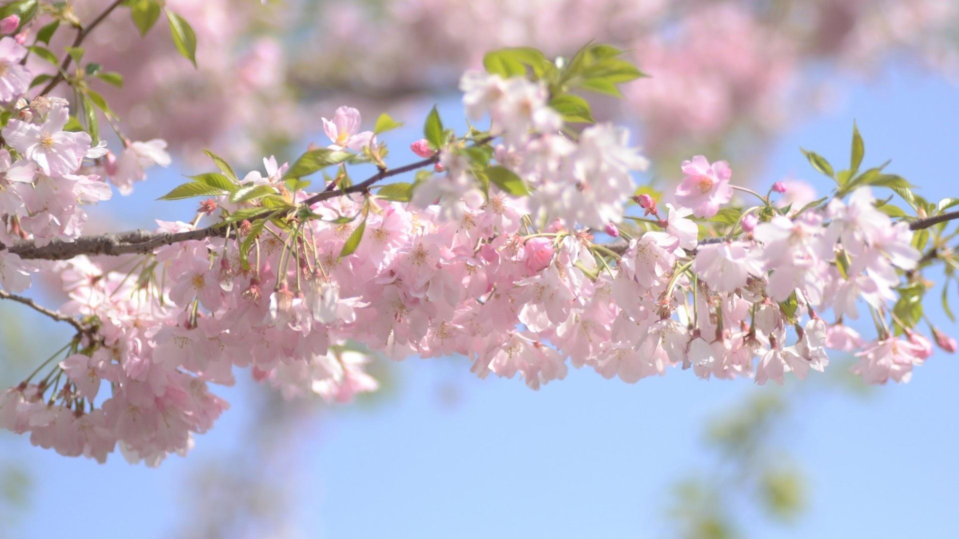 Sakura Blossom Wallpaper theme