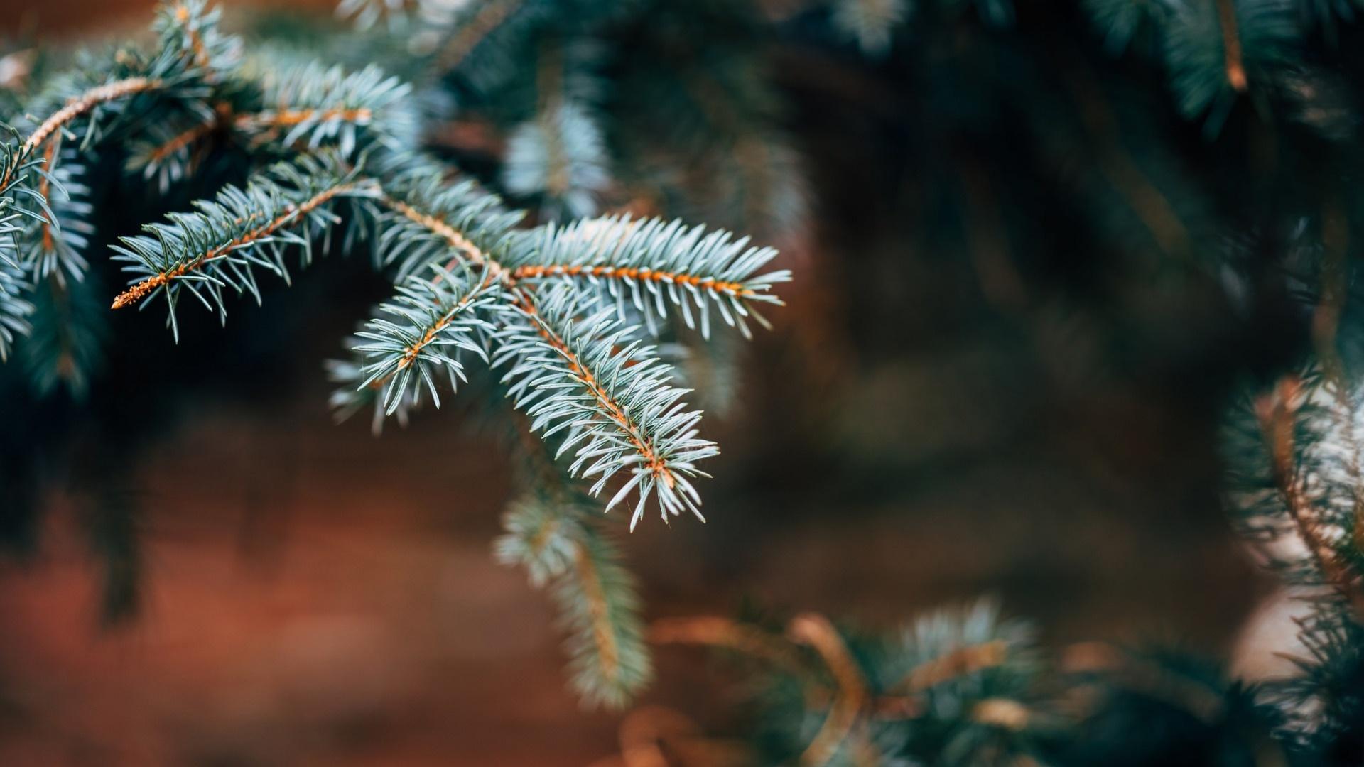 Spruce Branches Desktop Wallpaper