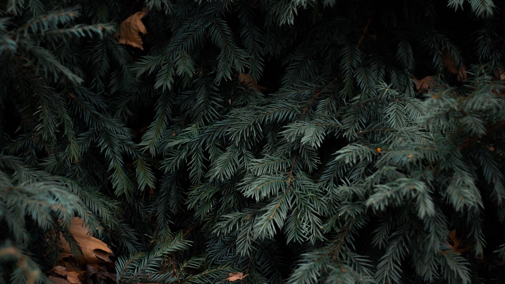 Spruce Branches wallpaper photo hd