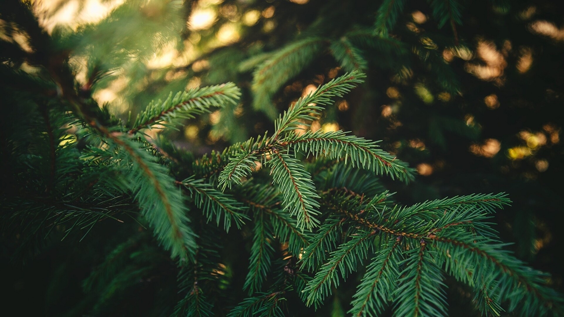 Spruce Branches wallpaper for desktop
