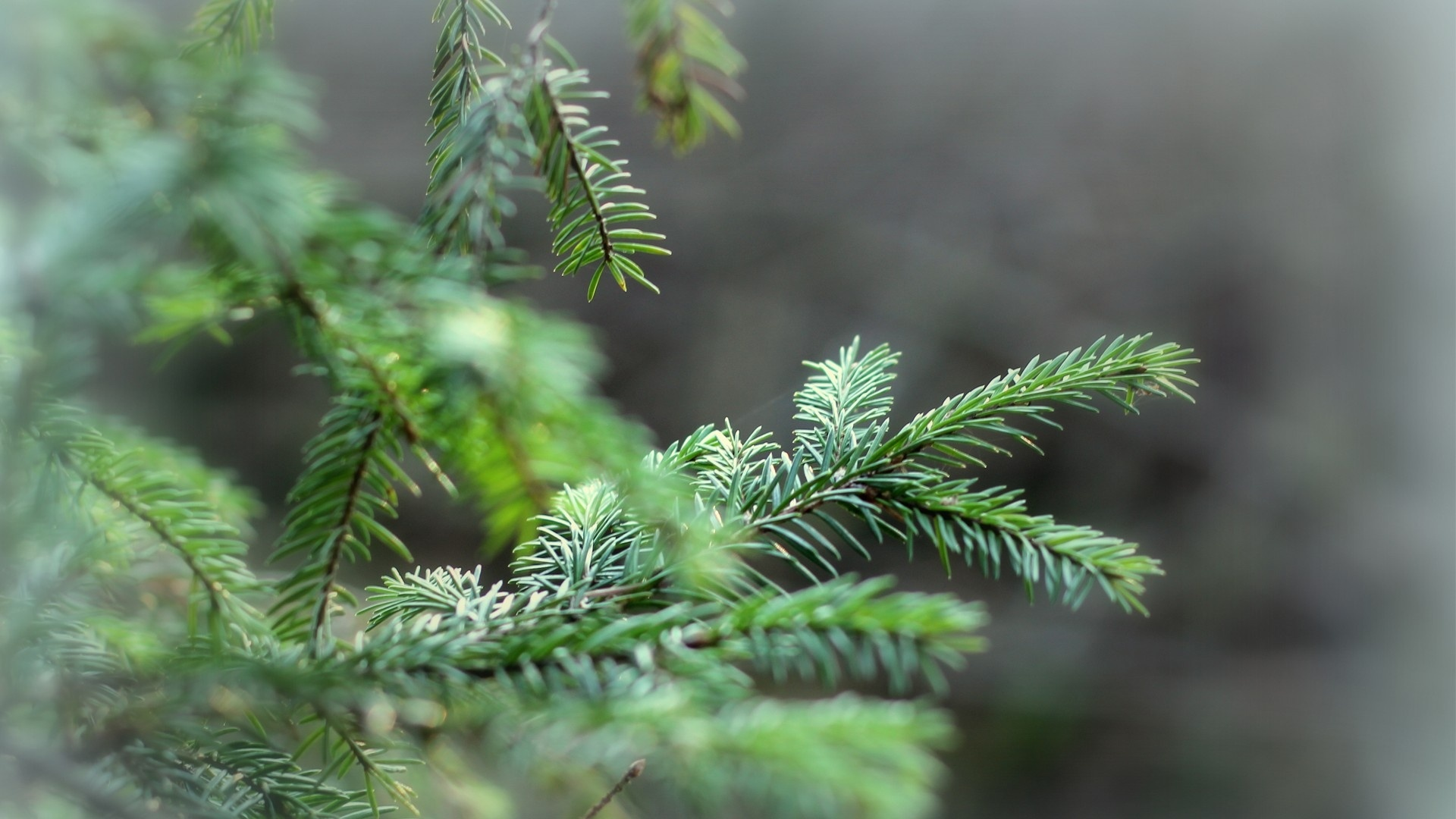 Spruce Branches wallpaper for pc
