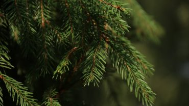 Spruce Branches Pic
