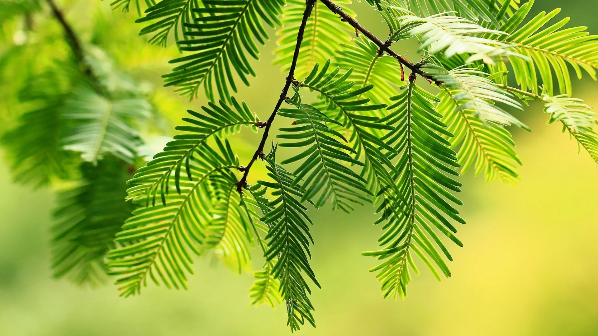 Spruce Branches HD Wallpaper
