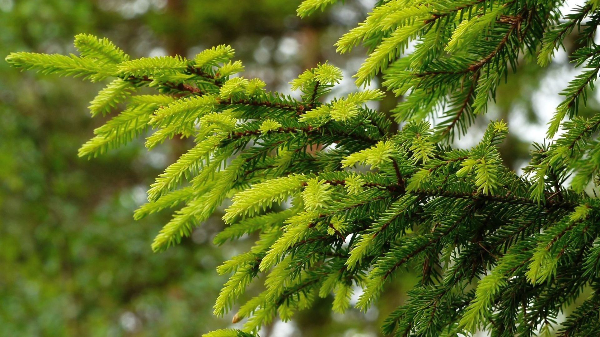 Spruce Branches Wallpaper