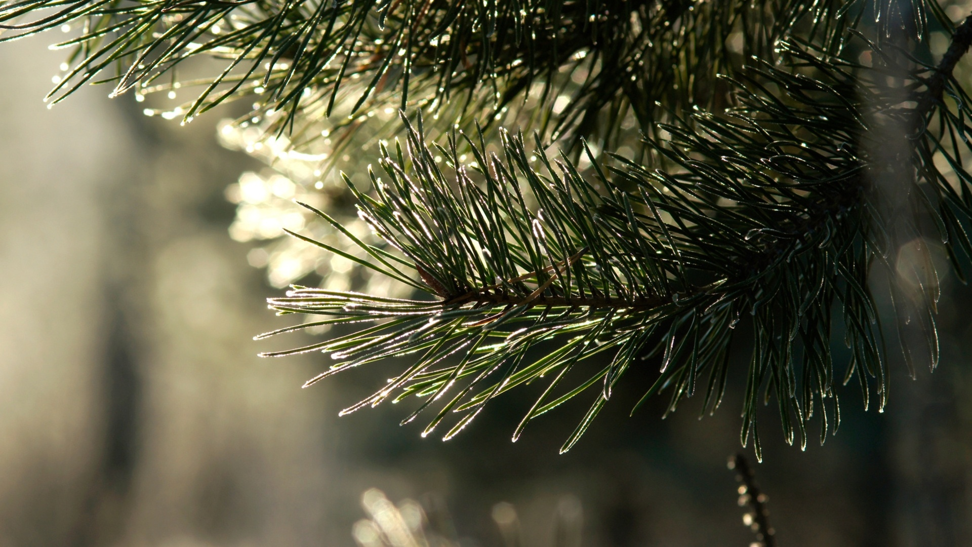 Spruce Branches Picture