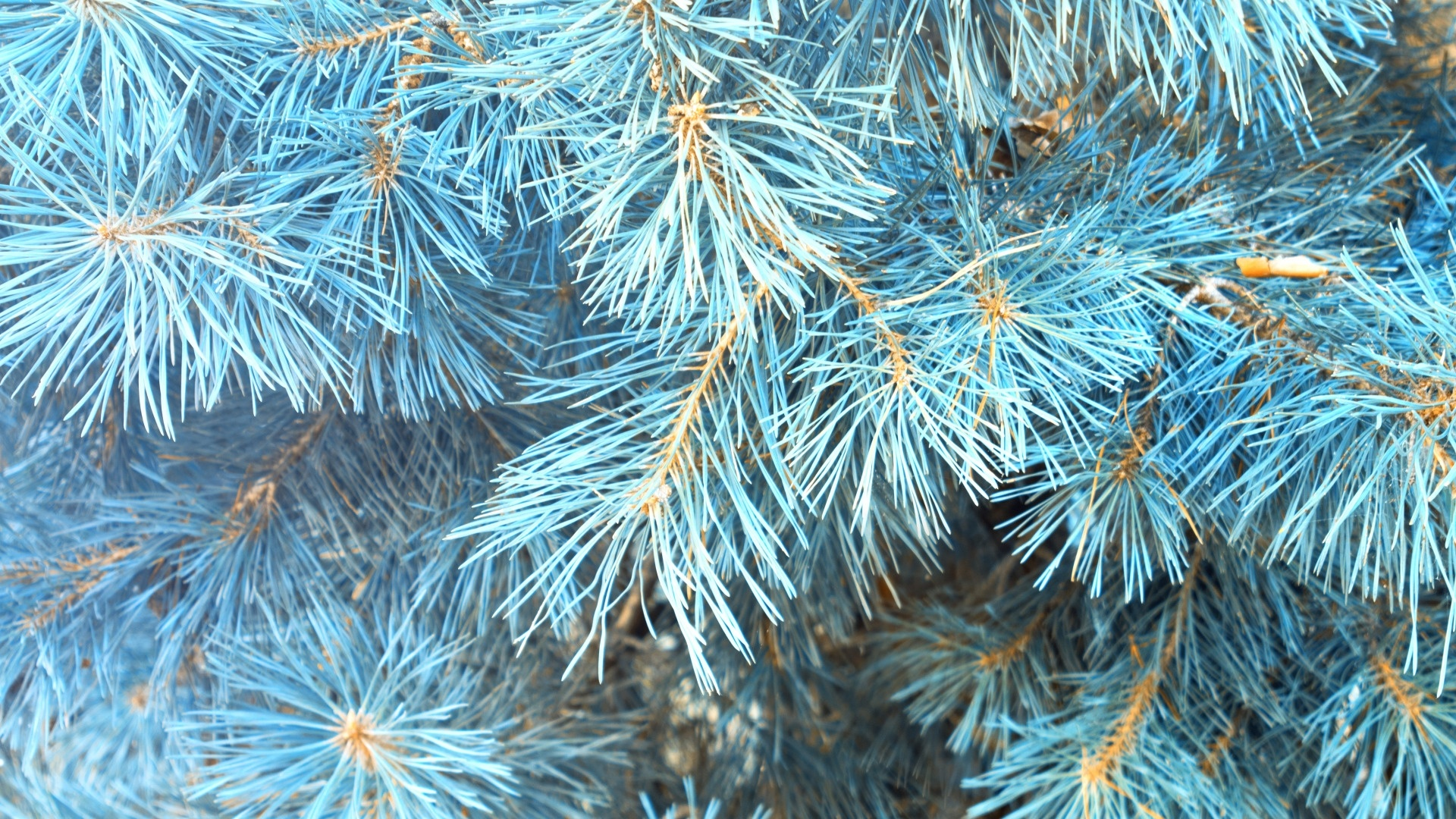 Spruce Branches desktop wallpaper hd