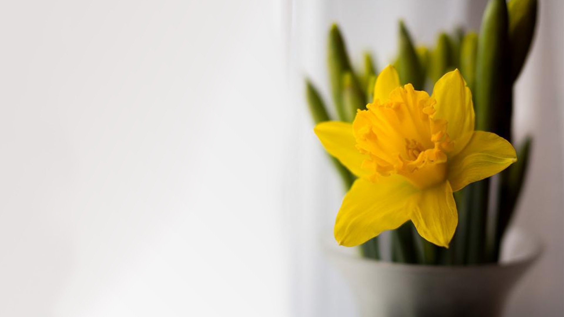 Tulip Minimalist Wallpaper theme