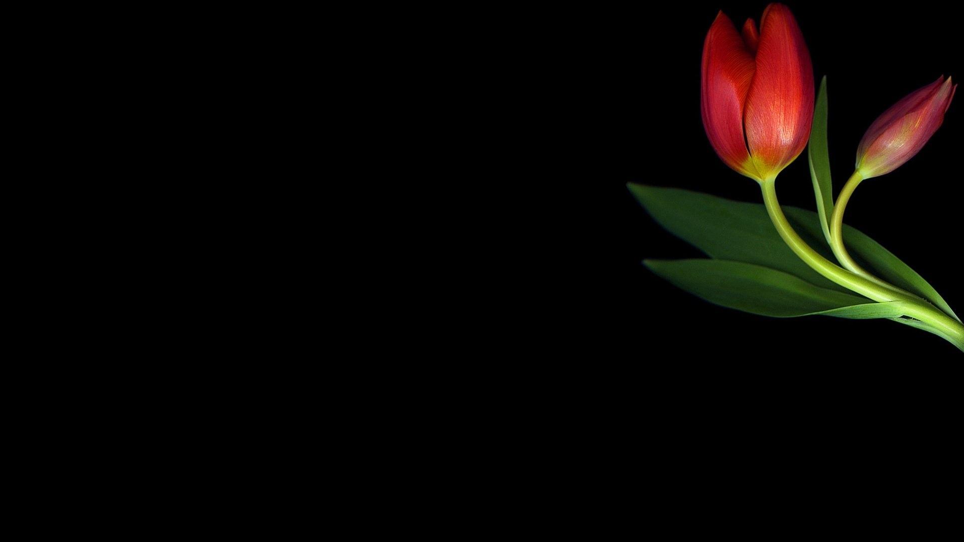 Tulip Minimalist Wallpaper