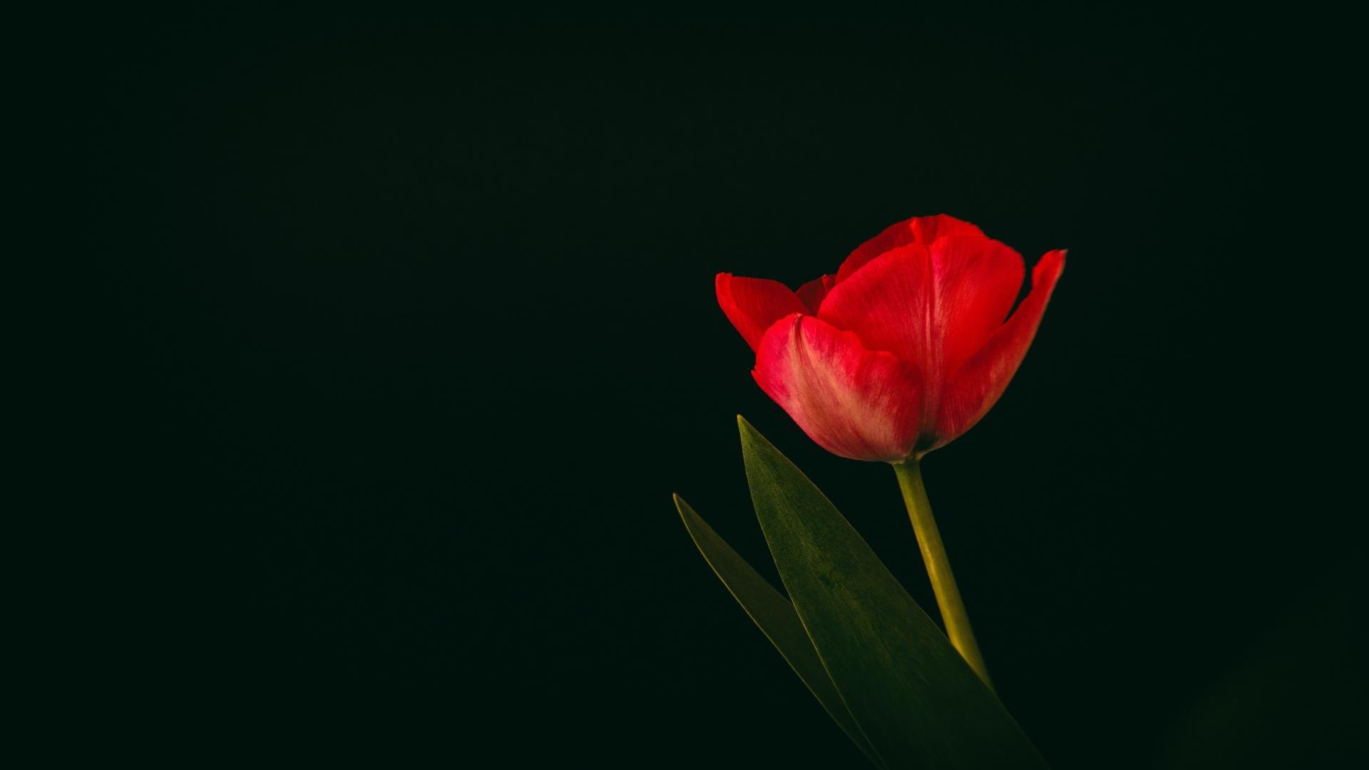 Tulip Minimalist HD Wallpaper