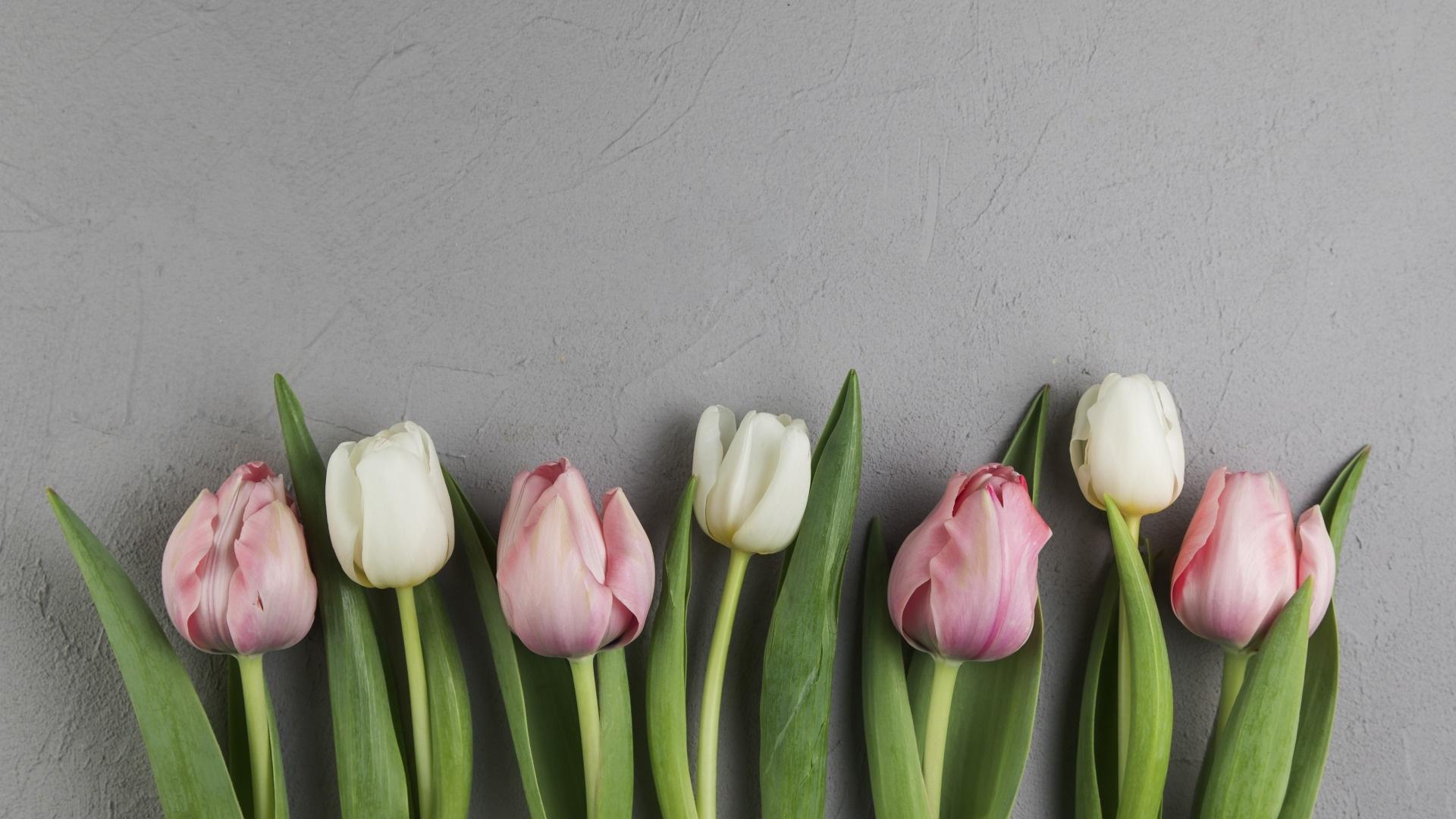 Tulip Minimalist wallpaper photo hd