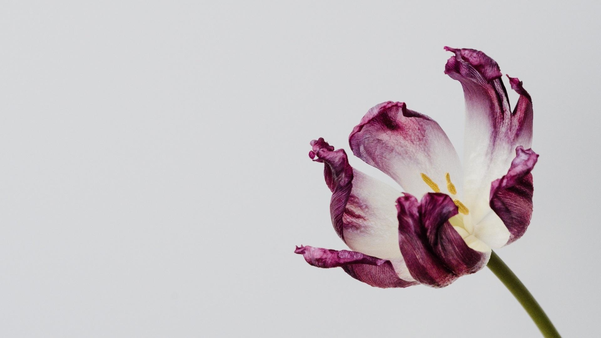 Tulip Minimalist Desktop Wallpaper