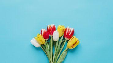 Tulip Minimalist computer wallpaper
