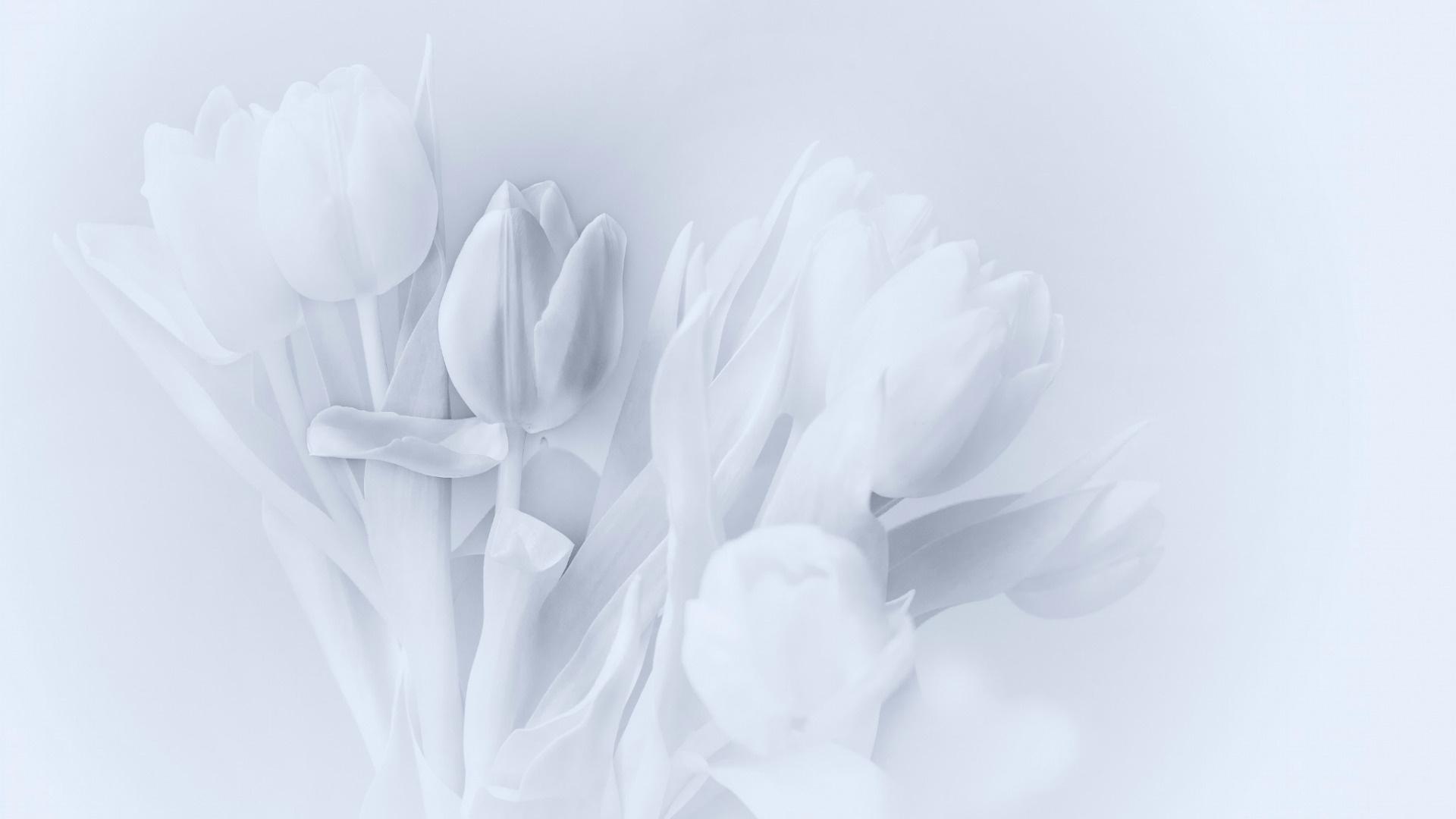Tulip Minimalist Background