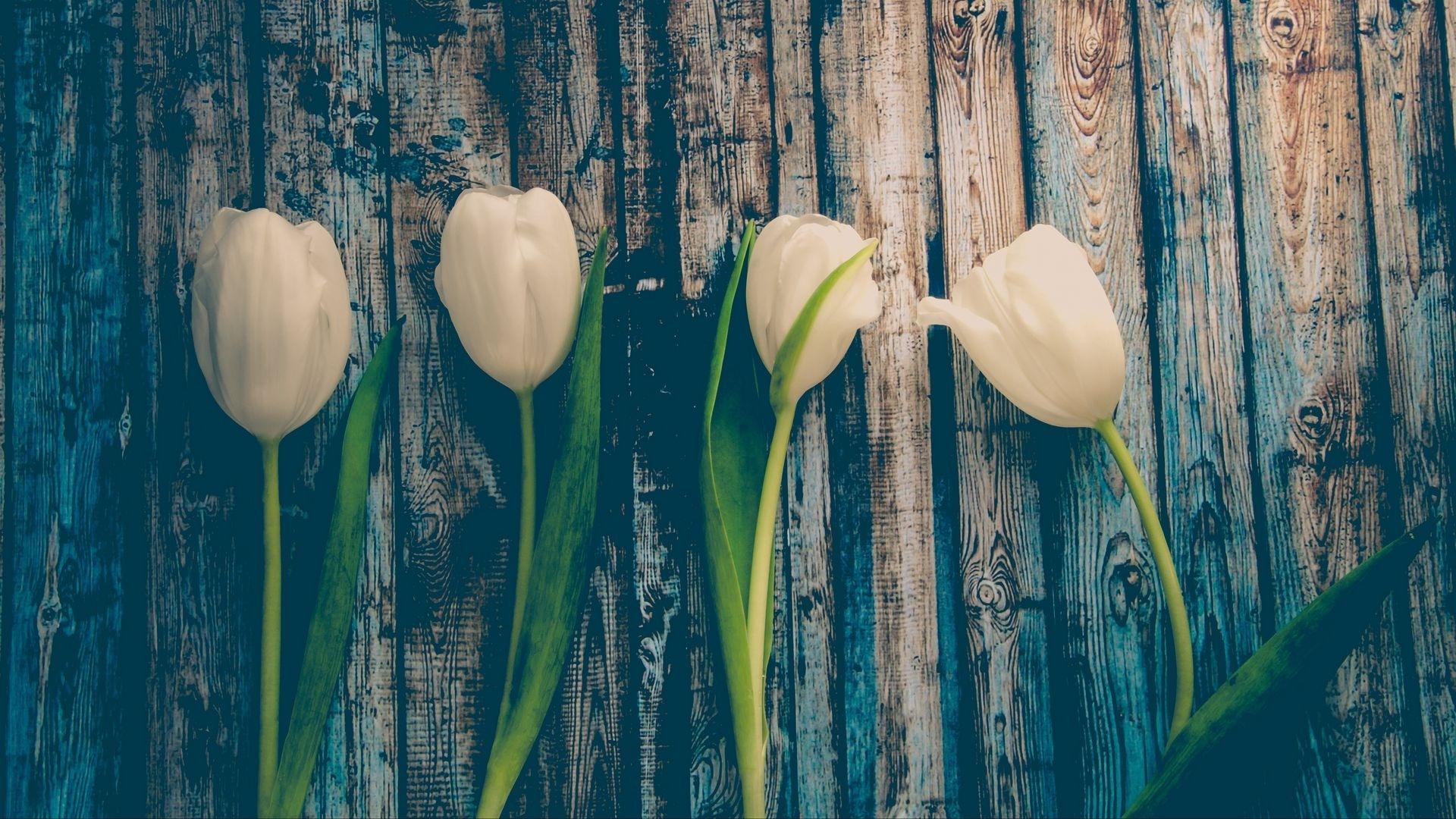 Tulip Minimalist wallpaper for desktop