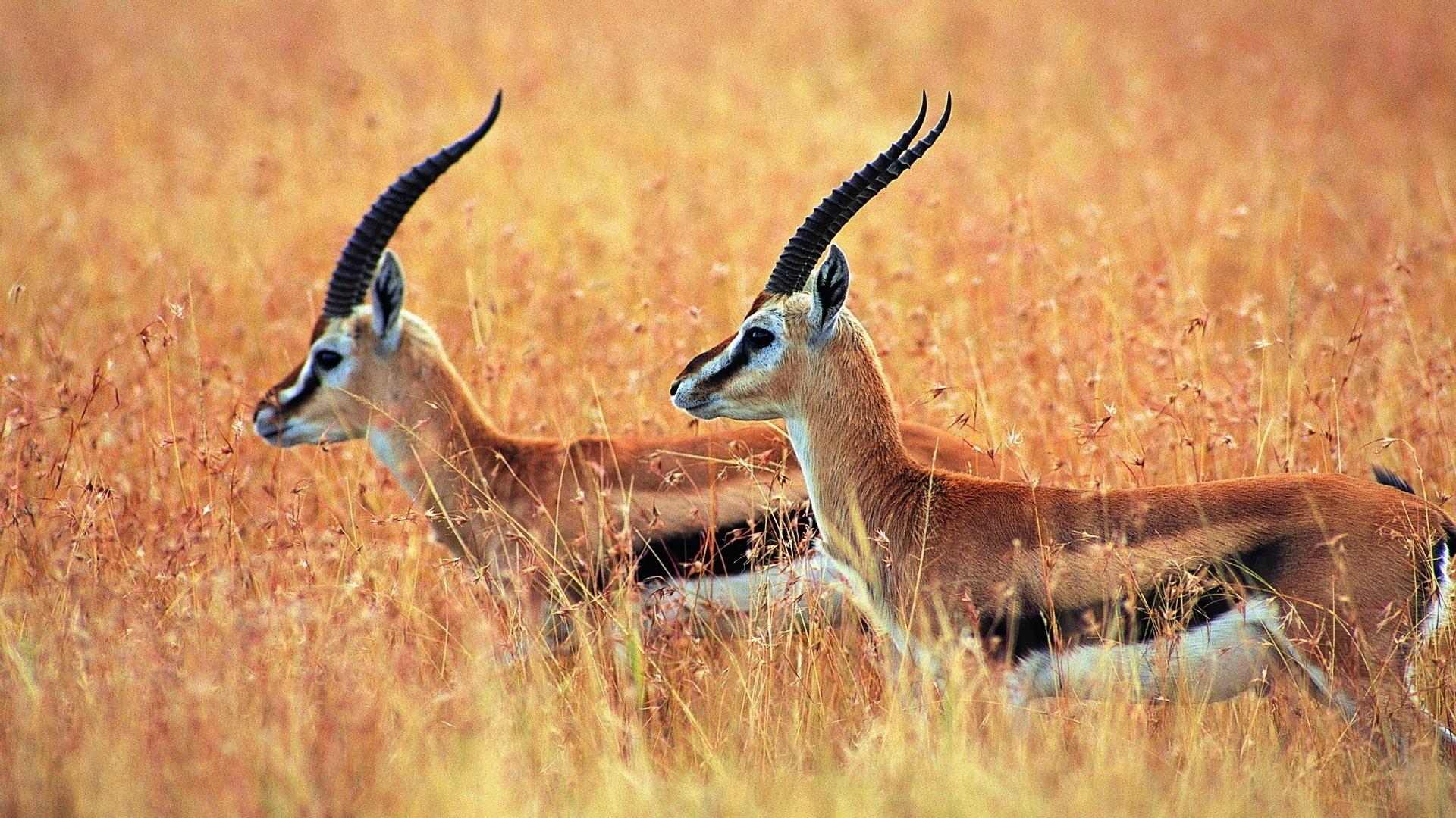 Antelope Wallpaper