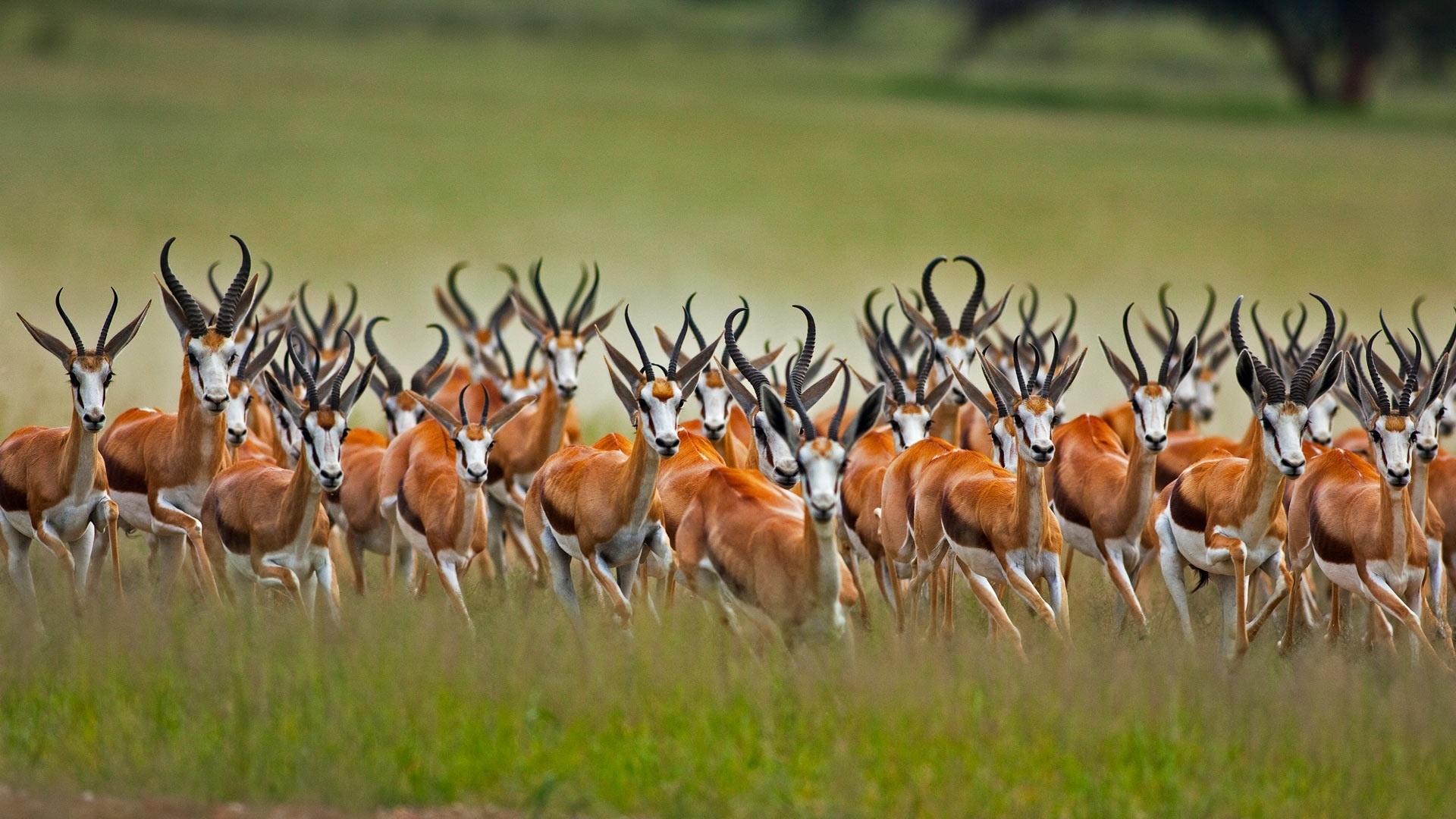 Antelope computer wallpaper