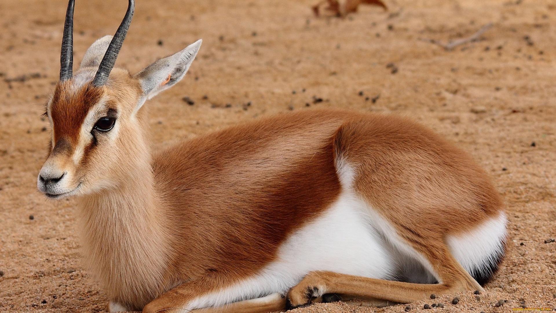 Antelope wallpaper for pc