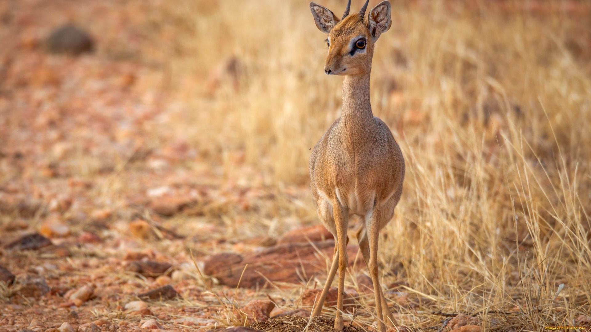 Antelope HD Wallpaper