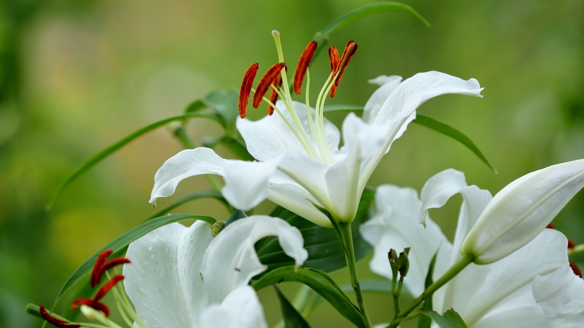 Lily Flower wallpaper for pc