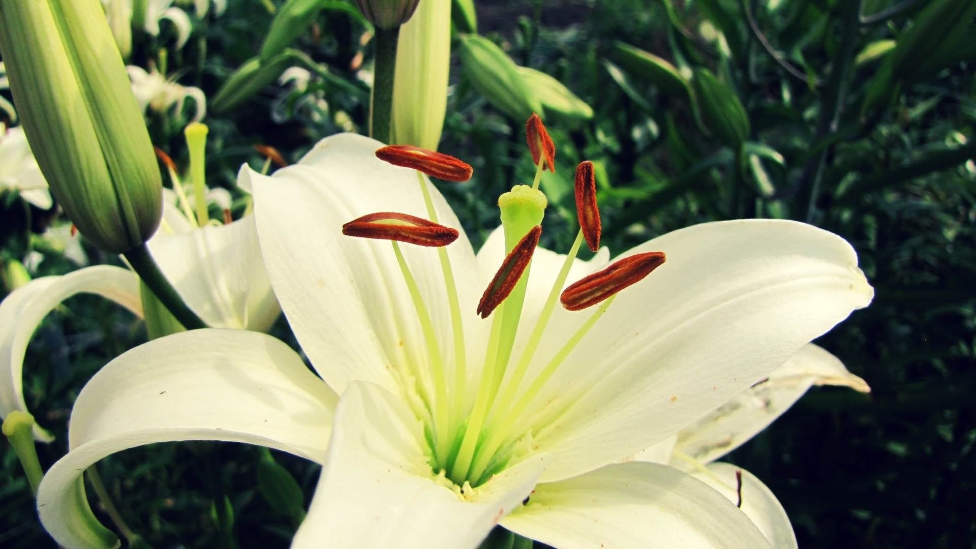 Lily Flower Picture