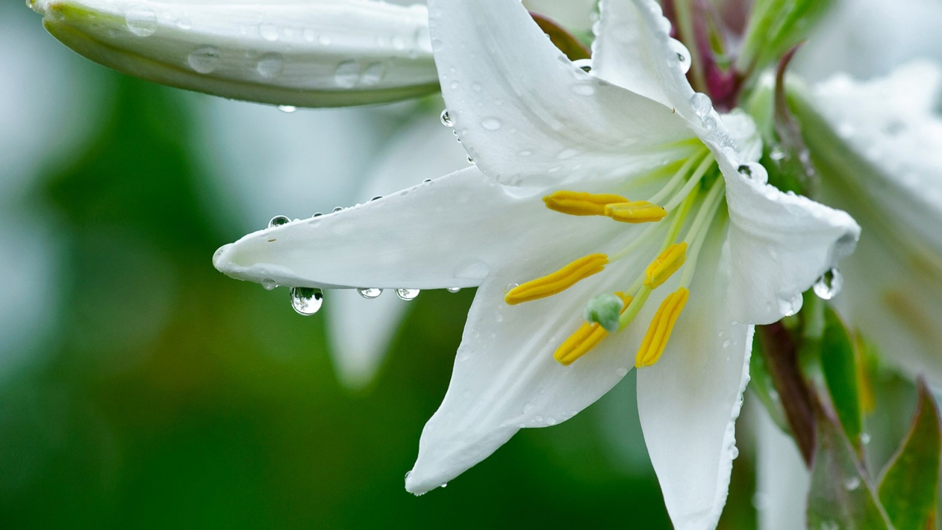Lily Flower Pic