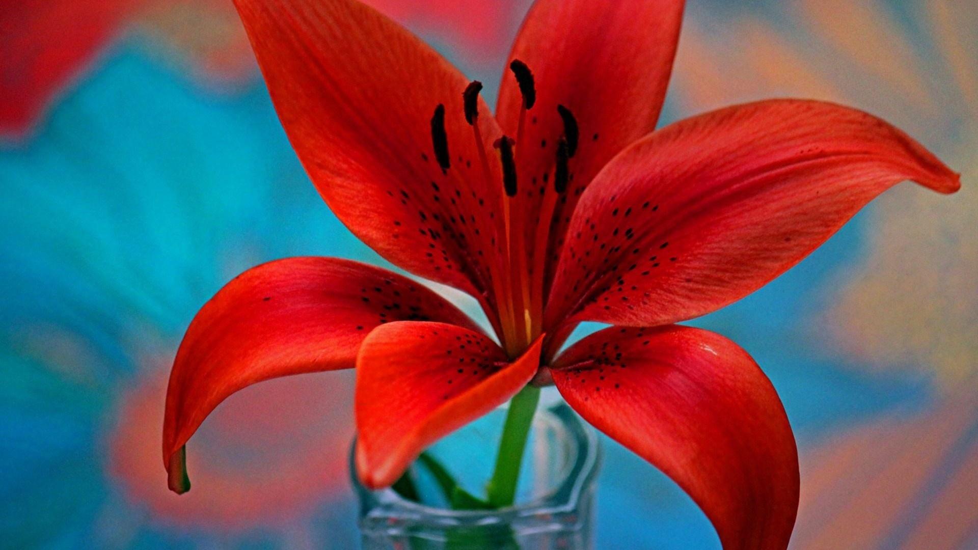 Lily Flower HD Wallpaper