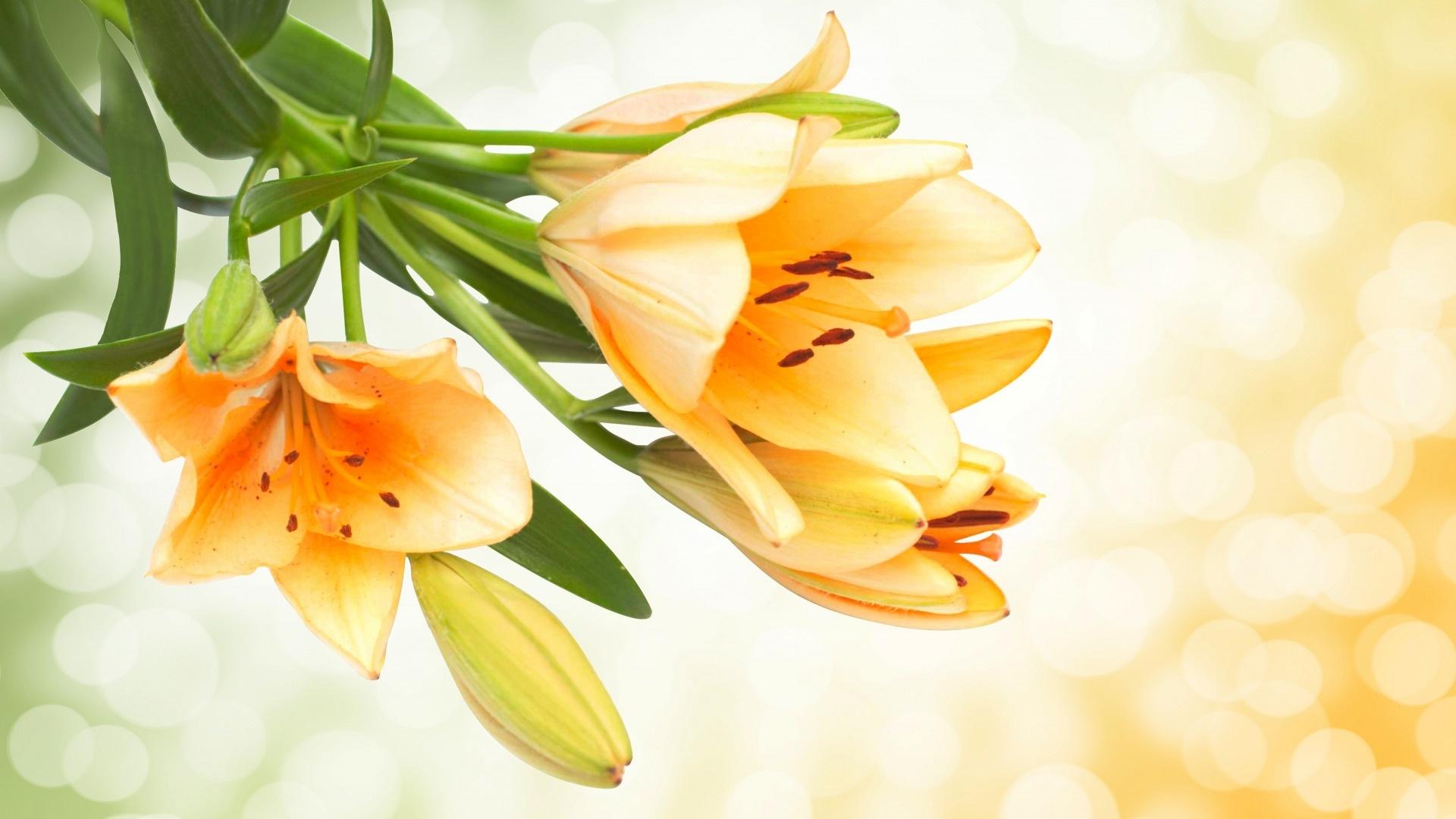 Lily Flower wallpaper for desktop
