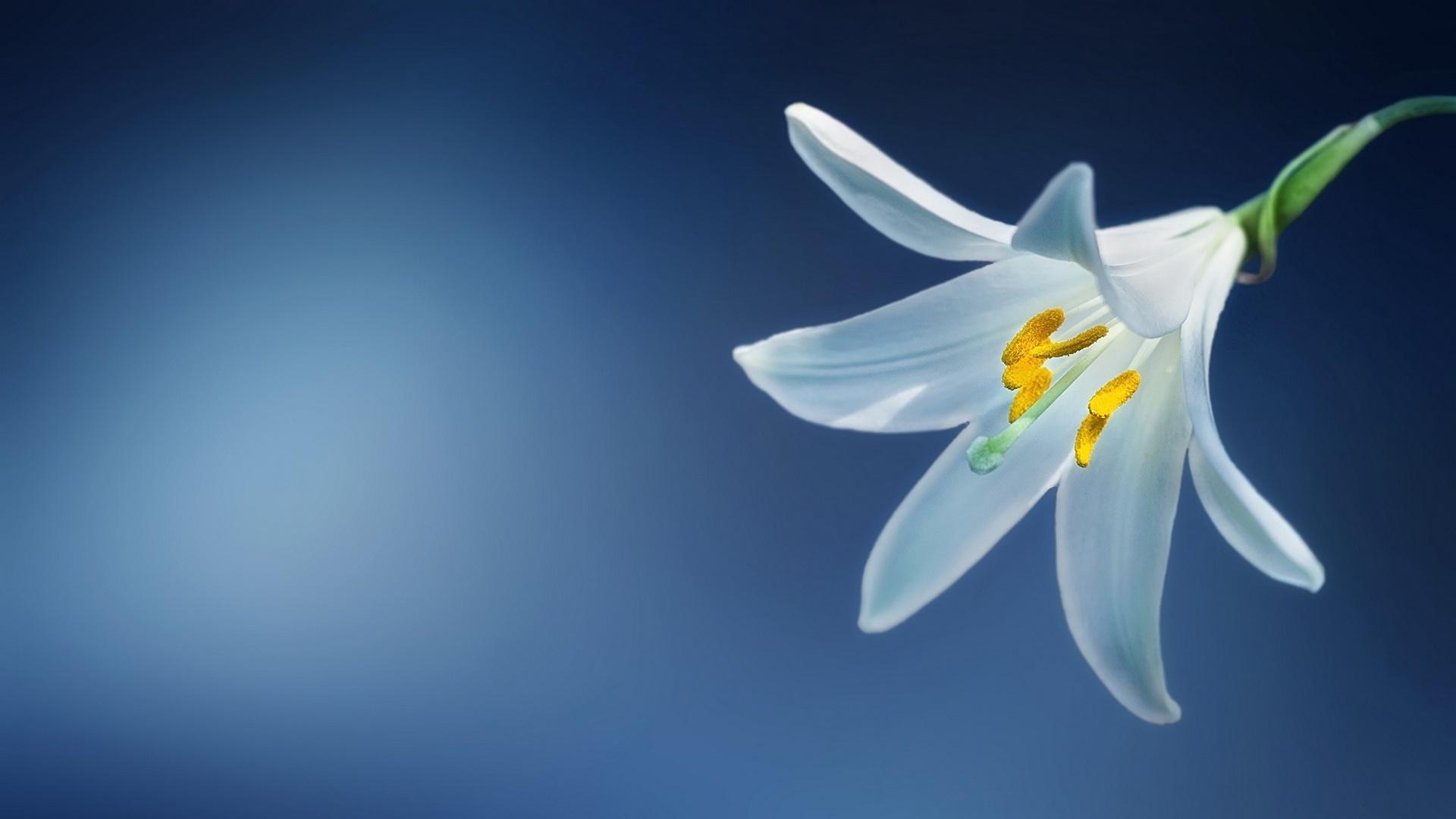 Lily Flower Wallpaper theme