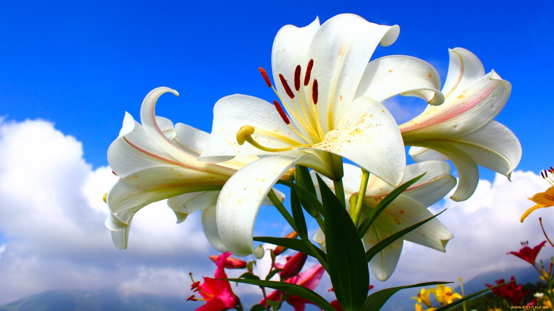 Lily Flower wallpaper photo hd