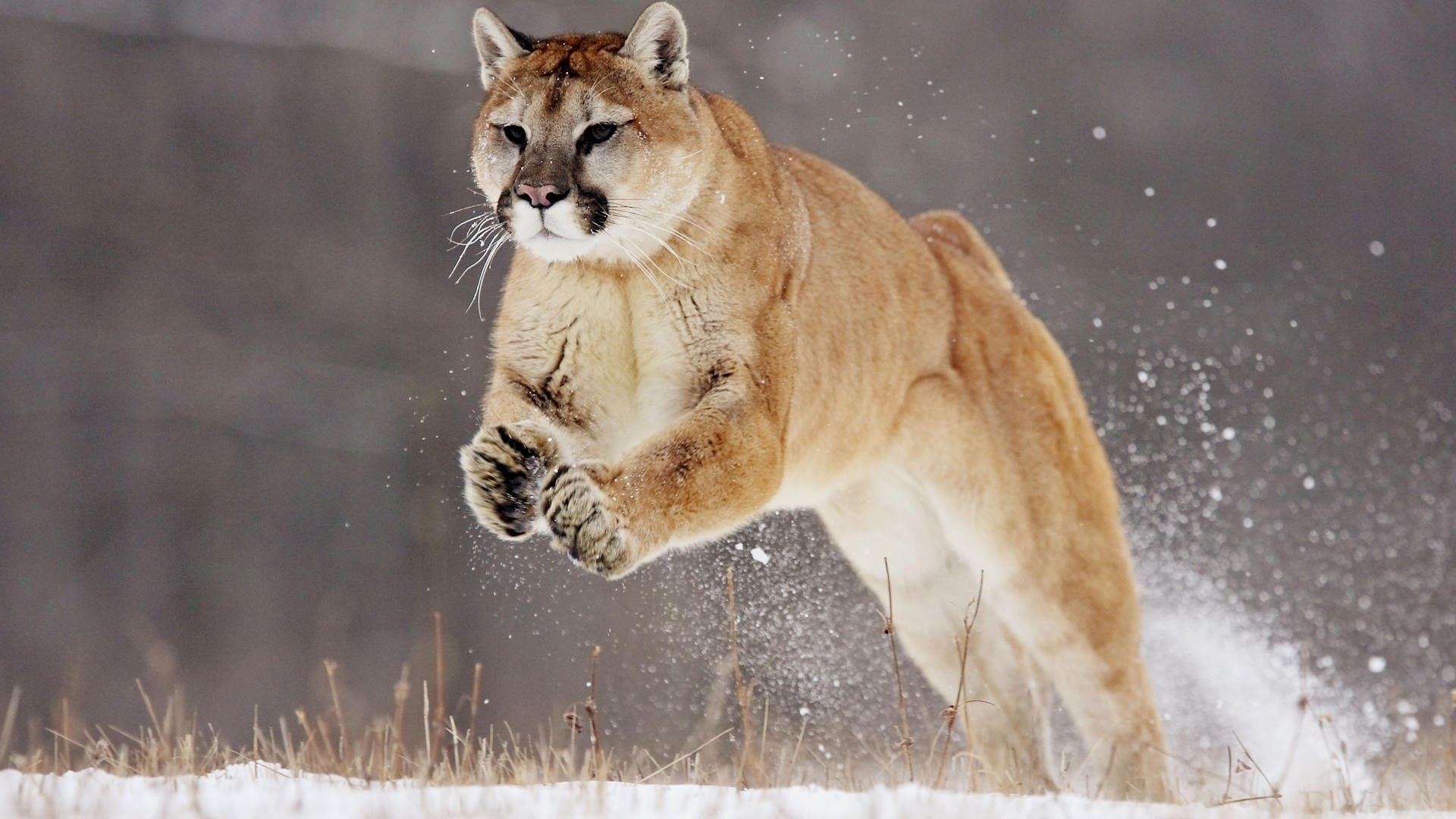 Mountain Lion Image