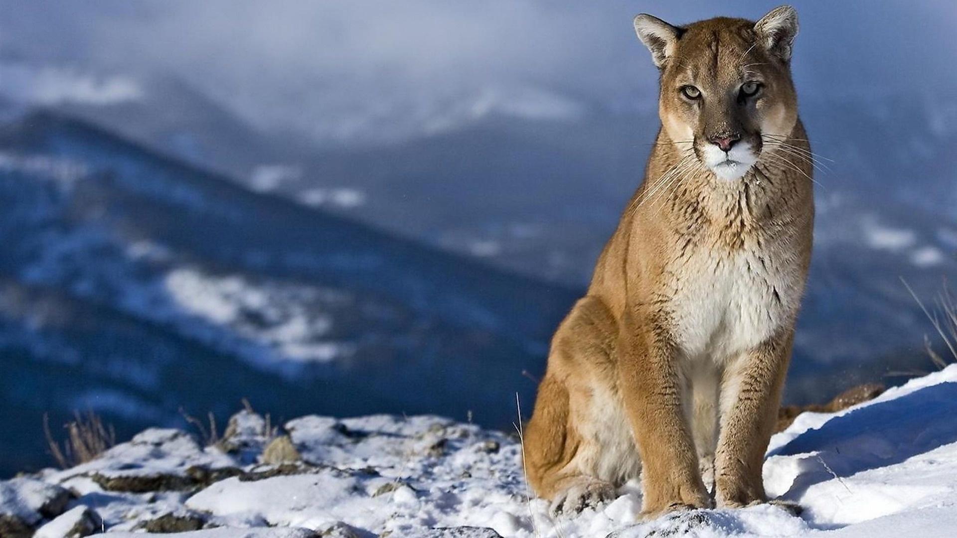 Mountain Lion desktop wallpaper hd