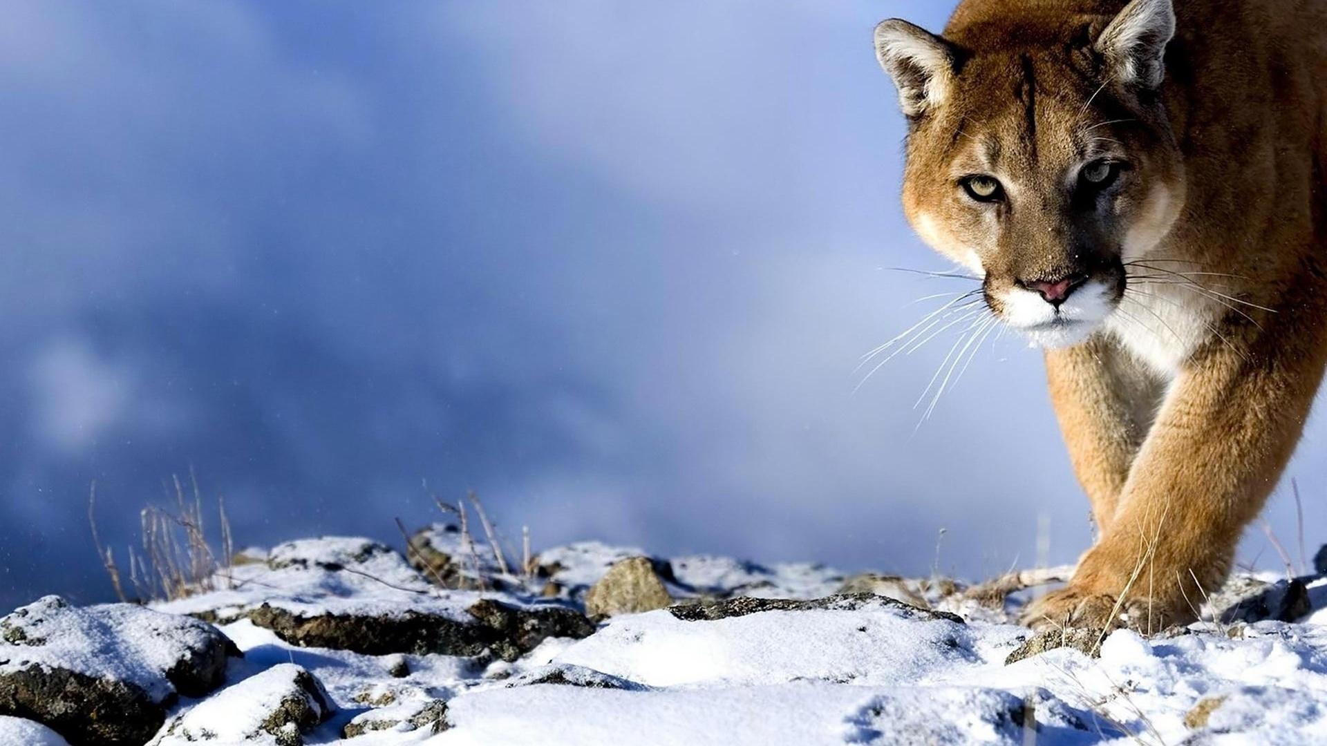 Mountain Lion HD Wallpaper