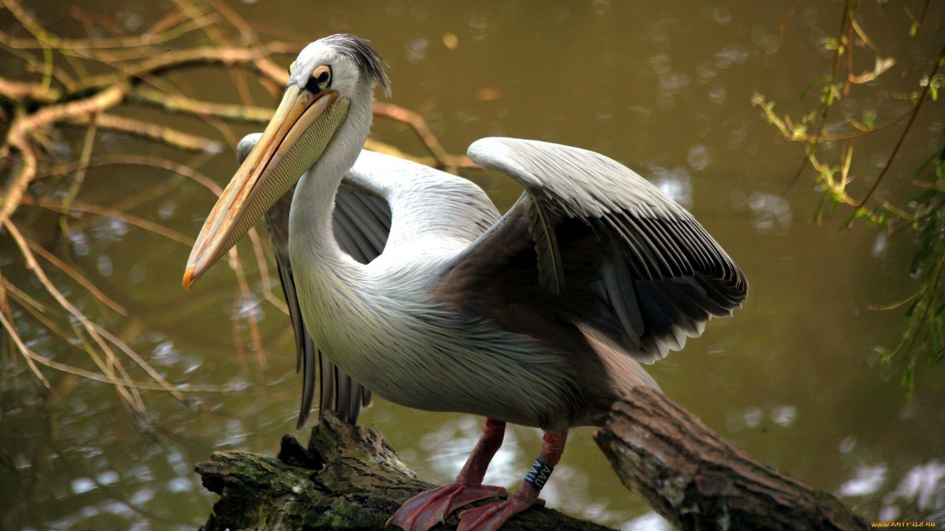 Pelican wallpaper for pc