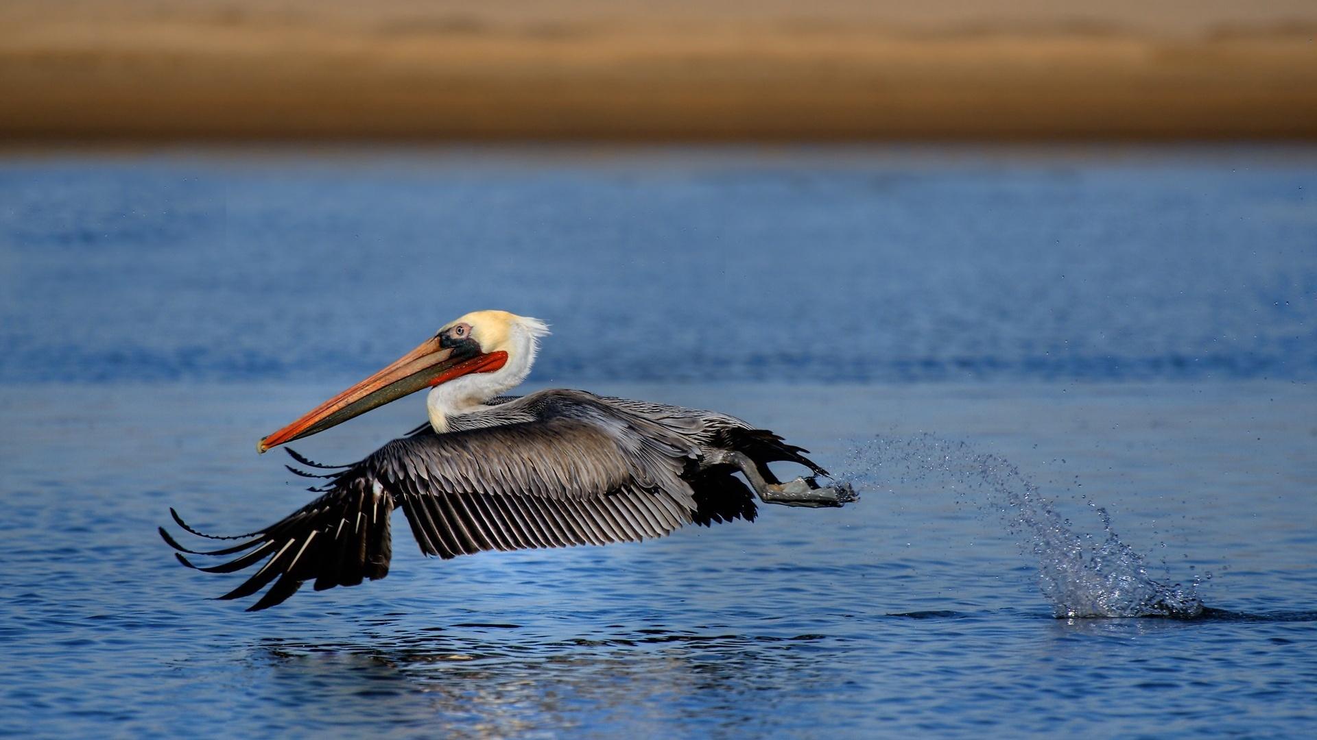 Pelican wallpaper for desktop