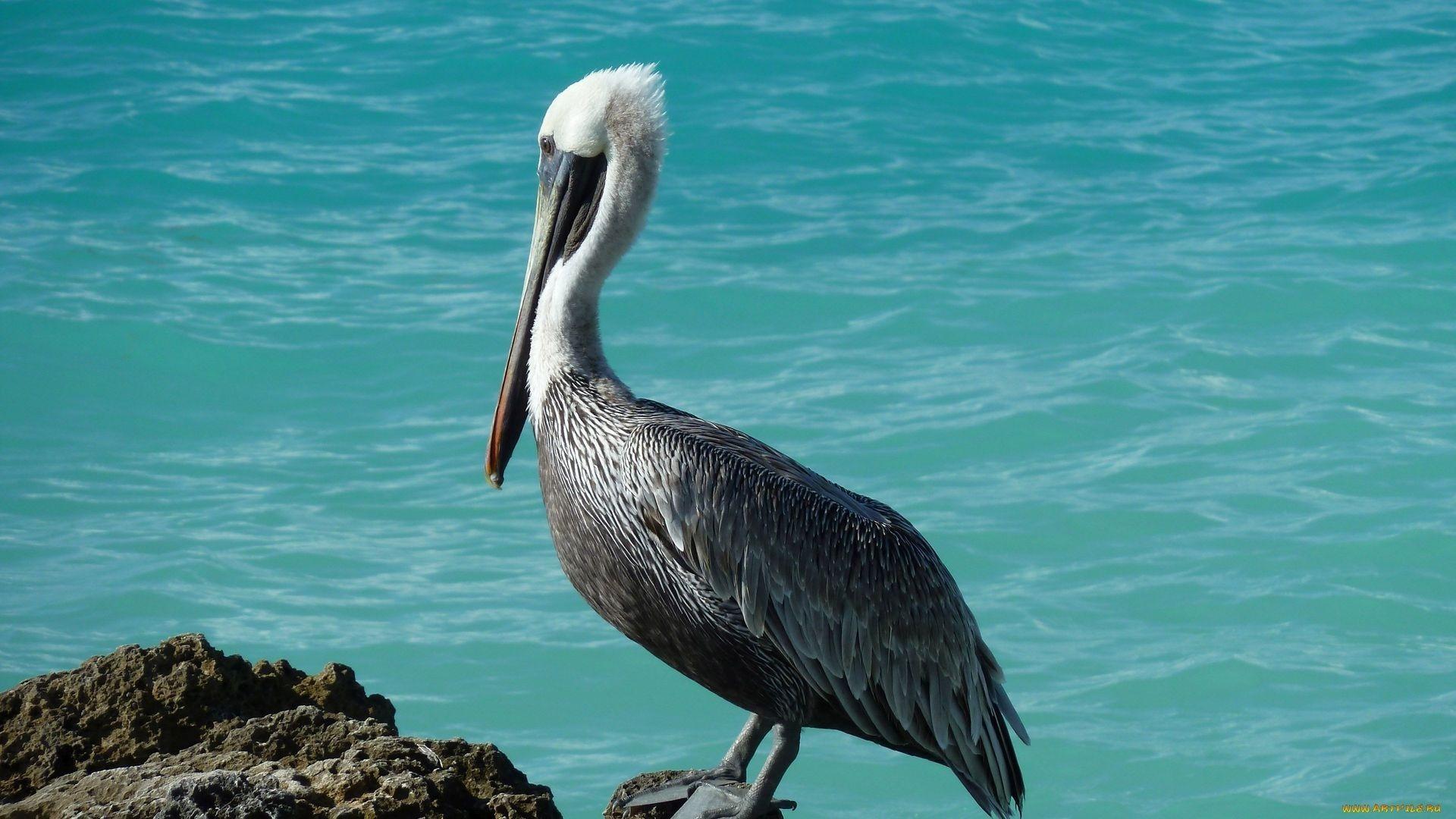 Pelican desktop wallpaper hd