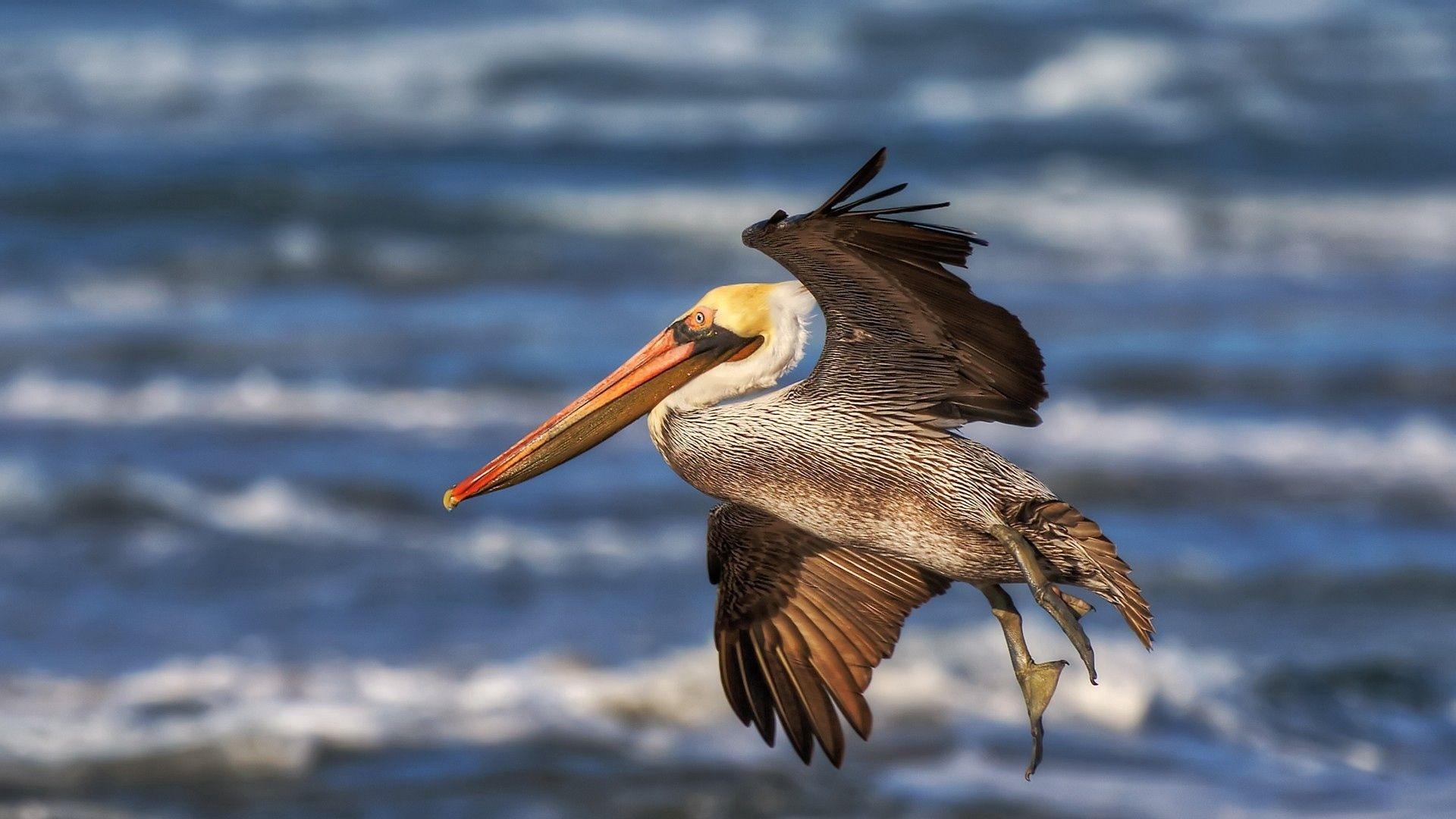 Pelican HD Wallpaper