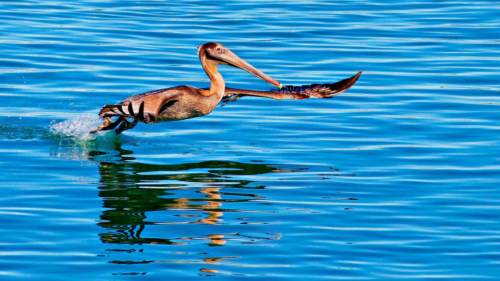 Pelican wallpaper photo hd