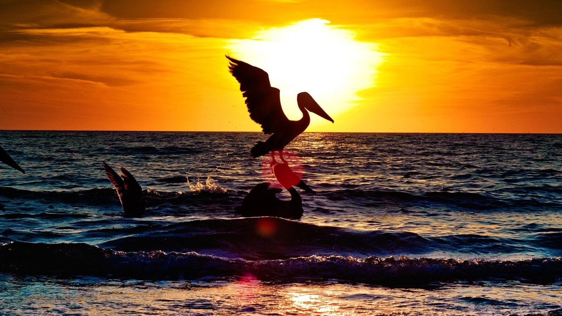 Pelican Pic