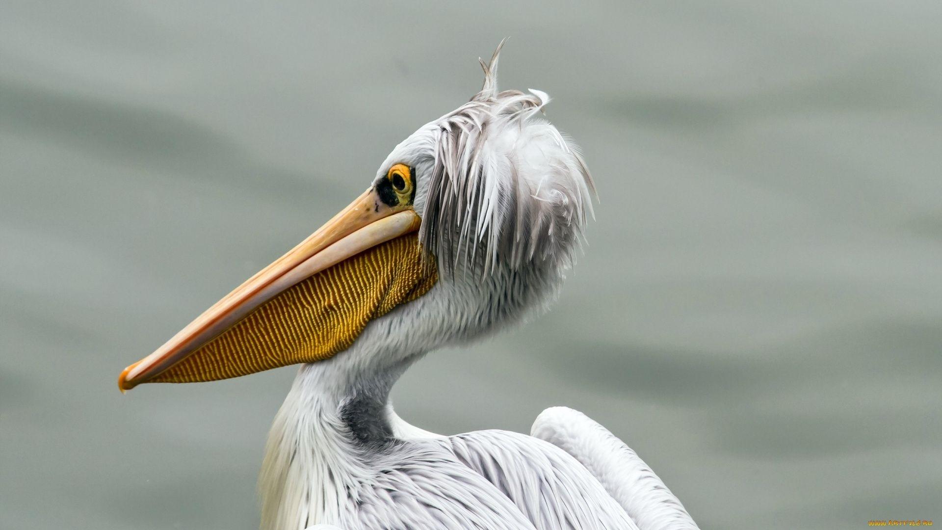 Pelican Picture