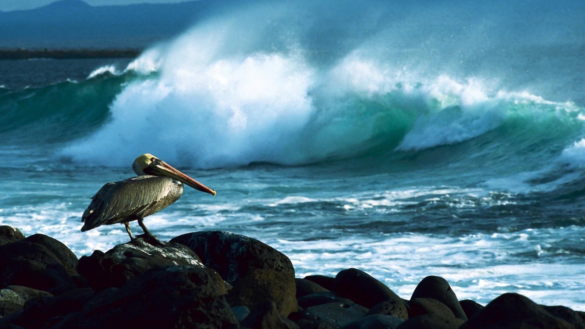 Pelican Wallpaper theme