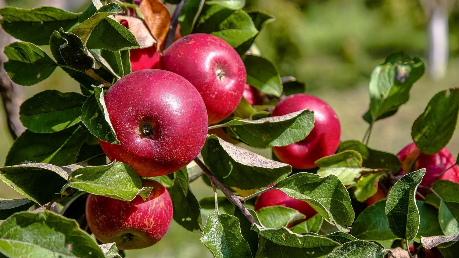 Apple Tree desktop wallpaper hd