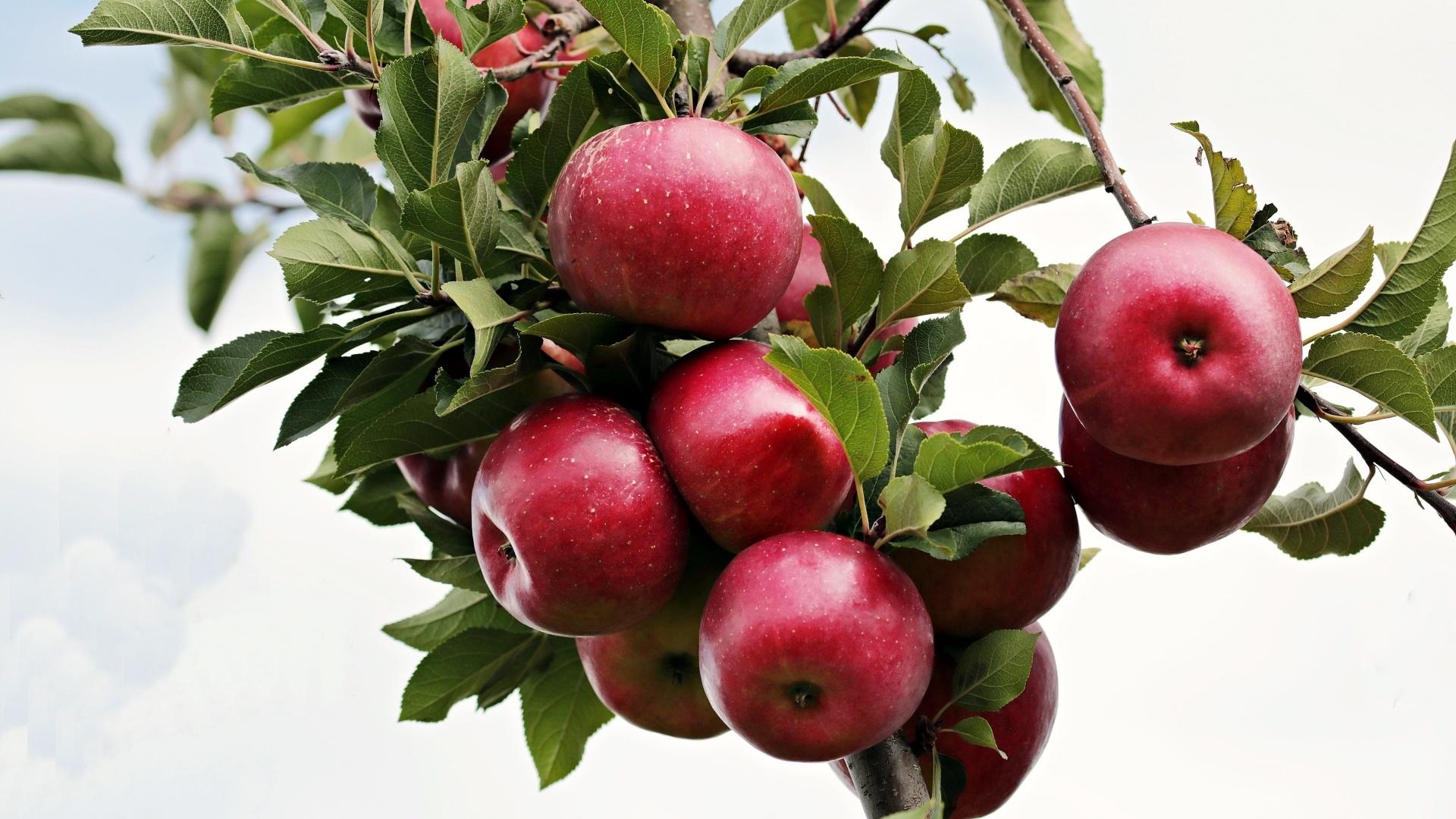 Apple Tree Picture