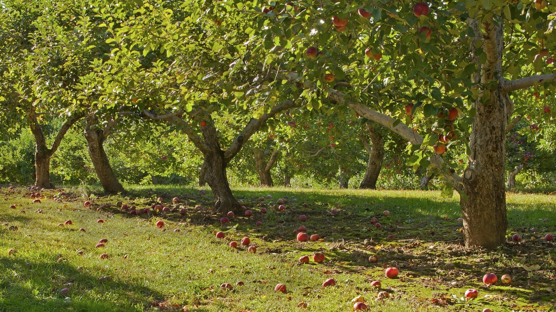 Apple Tree wallpaper for desktop