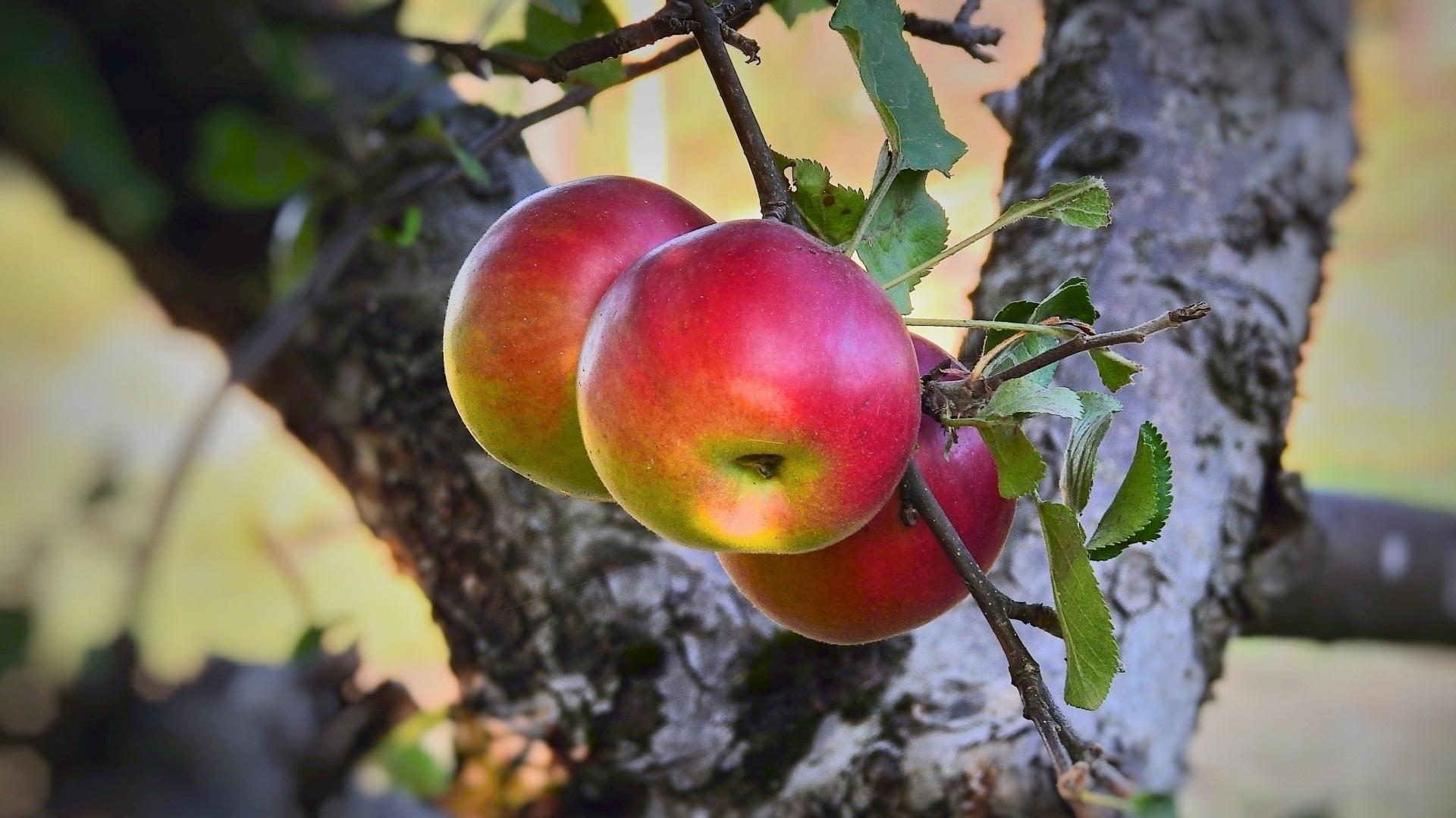 Apple Tree HD Wallpaper