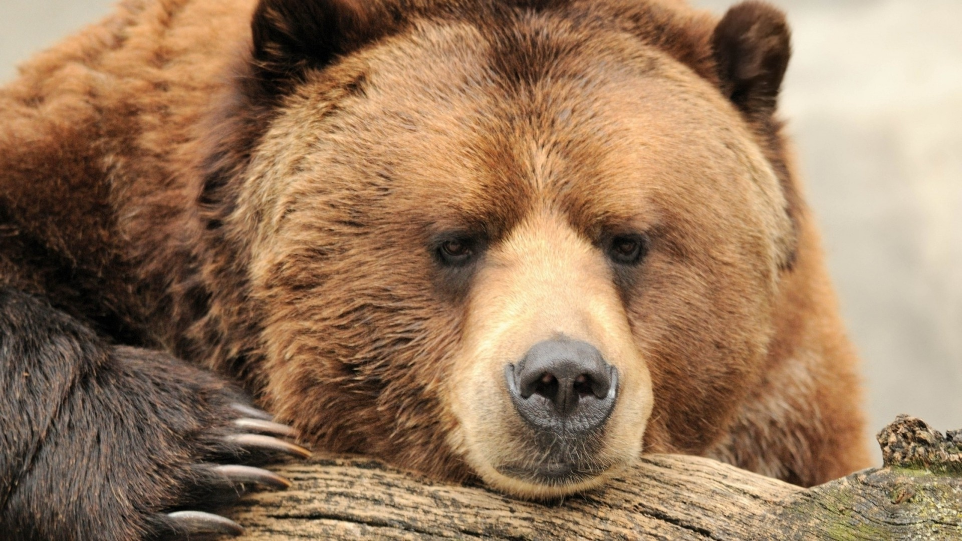 Brown Bear wallpaper for desktop