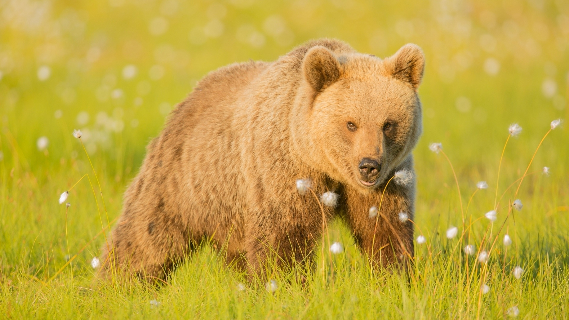 Brown Bear HD Wallpaper