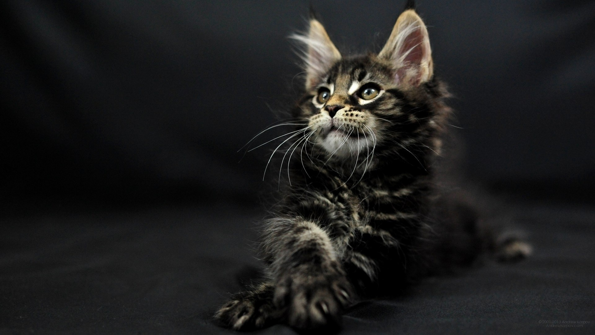 Maine Coon Cat Pic