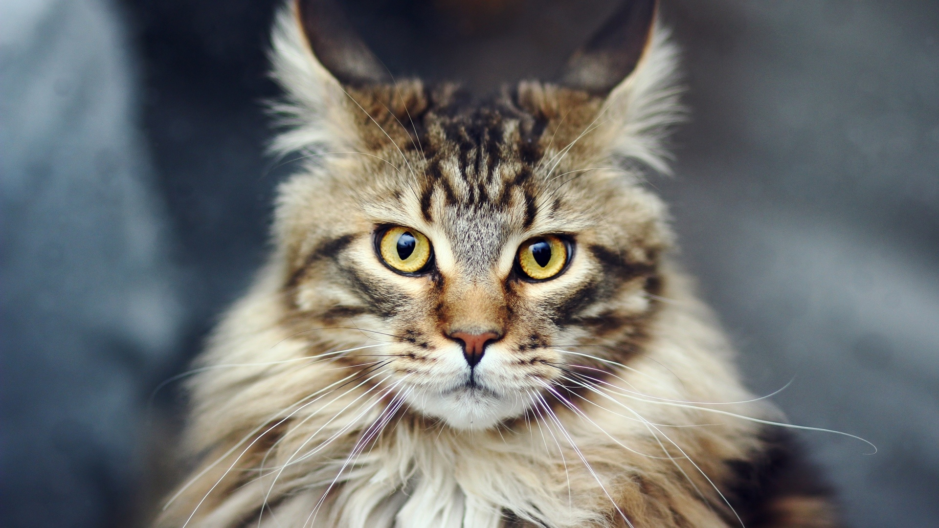 Maine Coon Cat computer wallpaper