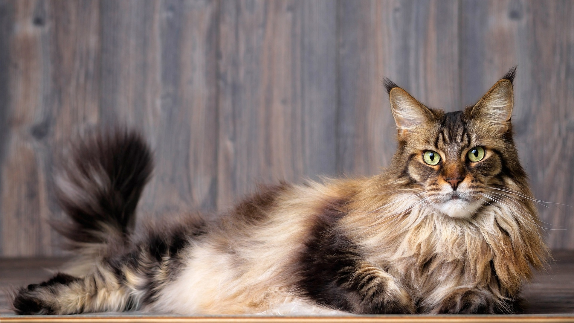 Maine Coon Cat Wallpaper