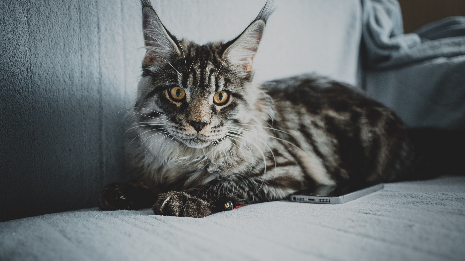 Maine Coon Cat wallpaper for desktop
